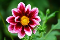 DAHLIA (PHOTOPHOB) Tags: dahlia flowers autumn red summer plants plant flores flower color macro rot nature fleur beautiful beauty fleurs germany garden petals spring colorful flickr estate autum stuttgart blossom sommer herbst natur flor pflanze pflanzen blumen zomer verano bloom blomma dalie t blume fiore blomst asteraceae dahlias dalia frhling yaz bloem floro kwiat killesberg dahlie dahlien kvt blomman blomsten lestate dalio platinumphoto colorphotoaward photophob