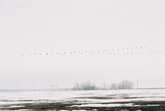 The Flying V (Ted & John Koston) Tags: winter snow canada ecology misty fog landscape march flying geese oak winnipeg farm science manitoba v hammock environment marsh migration telephonepoles ornithology