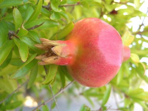 'Nana' Dwarf Pomegranate