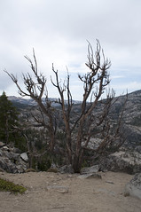 Gnarly Tree (Emerald Bay, California, United States) Photo