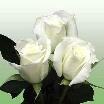 Roses WhiteTineke Abacoflowers