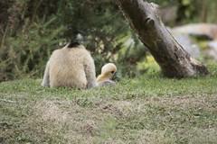 Guenon et guenuche (Rémy Harel) Tags: nature zoo animaux primates guenon singes exotique trégomeur guenuche