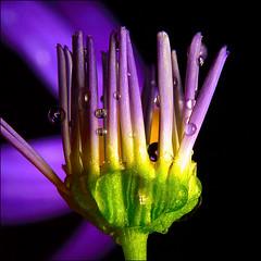 ~ Just dew it ~ (ViaMoi) Tags: ontario canada flower macro water rain closeup canon photography photo drops purple ottawa fresh dew bloom bud tamron90mm aplusphoto canon40d masterphoto viamoi 3xcufilter