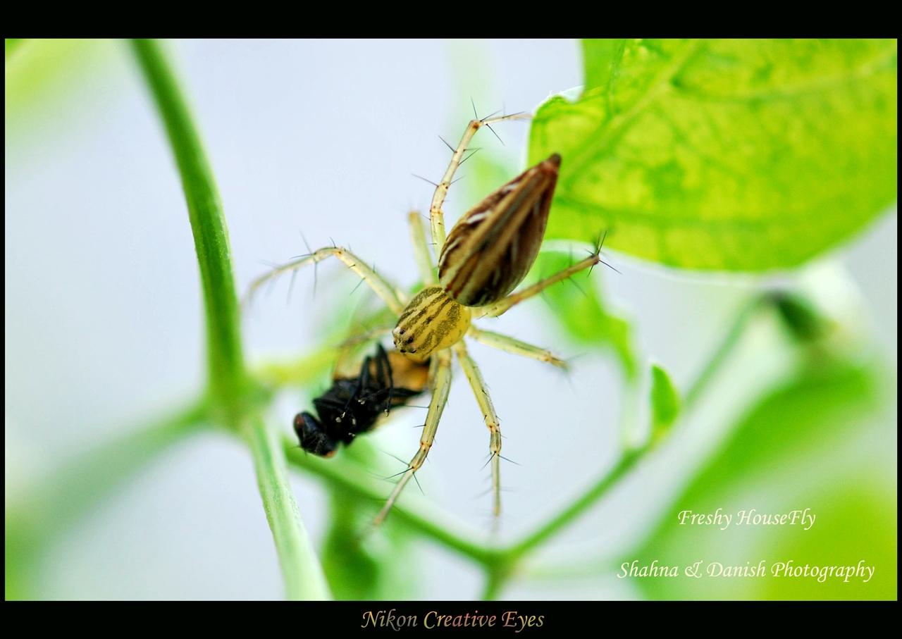 freshy housefly