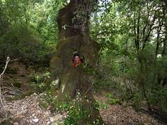 Eckard et le chêne percé (tafonatu)