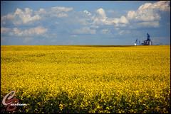 canola field (Miss Barabanov) Tags: road trip blue summer sky canada nature beautiful field yellow nice nikon day natureza machine lindo alberta oil prairie 2009 canola canad leo naturesfinest fortsaskatchewan d80