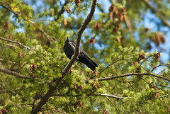Crow and the pine tree (***roham***) Tags: sky canada verde green bird pinetree pine geotagged nikon branch himmel aves telephoto cielo burnaby tele crow d200 grn pino kiefer rama vogel cuervo krhe corvo filiale zweig supertelephoto supertele nikond200 teleobjetivo teleobiettivo 400mmf35aisii superteleobjetivo nikkor400f35ed superteleobjektiv nikon400mmf35ais