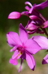 Pretty in pink, Dominica (Tropical Ties) Tags: dominica caribbean canoneos canonrebelxt canon350d sigma1770 pink flower flora spathoglottisplicata orchid groundorchid dominicaimage dominicaphoto dominicaphotography dominicapicture stockphoto stockimage stockphotography photography waitukubuli natureisland stock image photo picture photographer tropicalflower exoticflower davidorchid davidsorchid