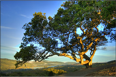 Oak Tree at Dawn (Jill Clardy) Tags: county tree fog dawn oak highway san crystal reservoir springs 100views 500views mateo hdr gnarled 280 npw 3510 photomatix 3512 3511