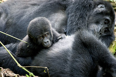 Uganda, Bwindi (richard.mcmanus.) Tags: africa rainforest uganda mcmanus bwindi mountaingorillas 123nature crazynature naturalexcellence natureislovely naturegreenstar naturescreations worldanimals worldnatureclose gpsetest