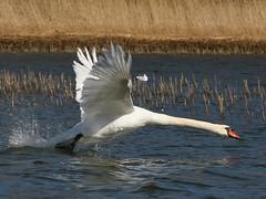 Sprinting Show-off (Tomi Tapio) Tags: bird water neck swan wings helsinki iso400 shoreline takeoff muteswan cygnusolor seurasaari kyhmyjoutsen canonef90300mmf4556usm