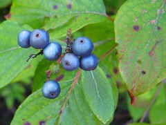 sapphire berries (rosewithoutathorn84) Tags: blue green nature beautiful leaves ma berries bright massachusetts vivid cmwdblue concordians