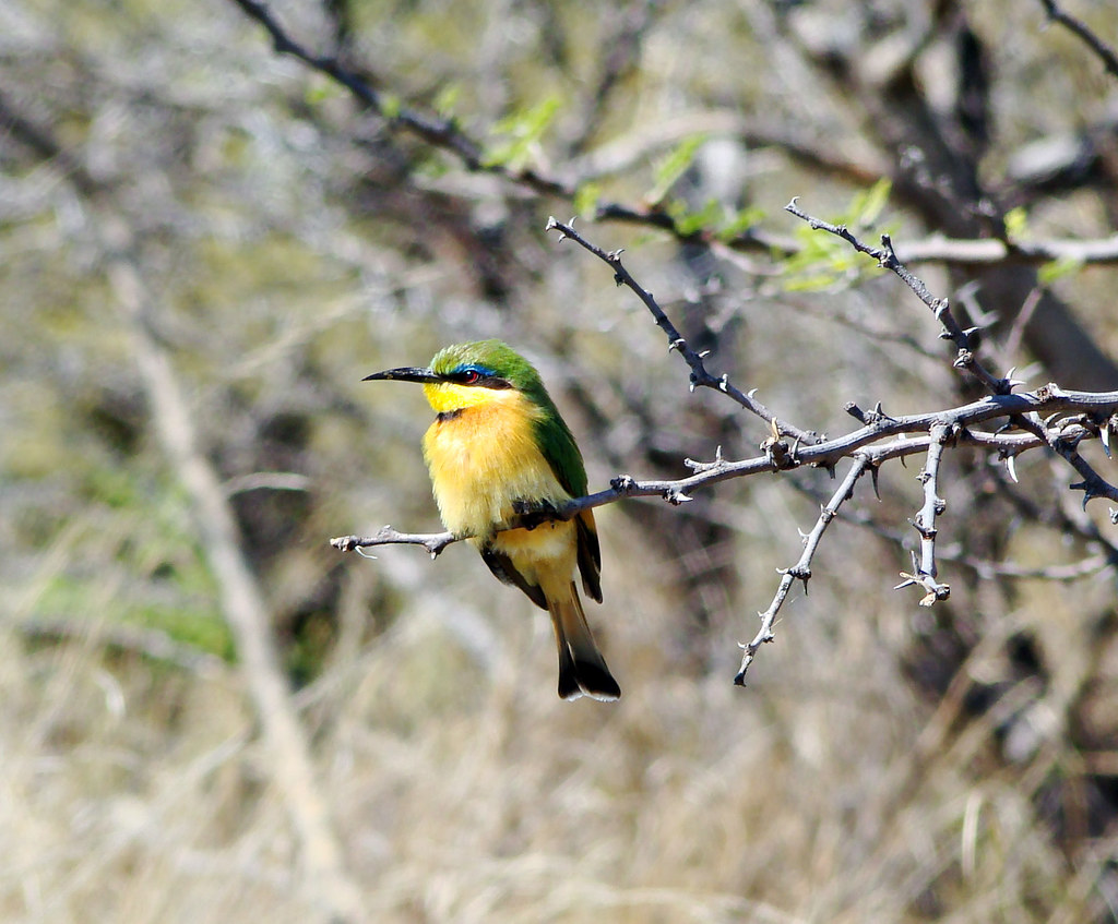 DSC08876 Little Bee-eater cropped