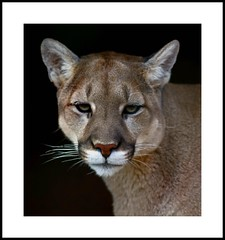 _MG_6517E (Ralston Images) Tags: jaguar puma panther cougar mountainlion hoglezoo jrphotography flickrbigcats jasonralstonphotography