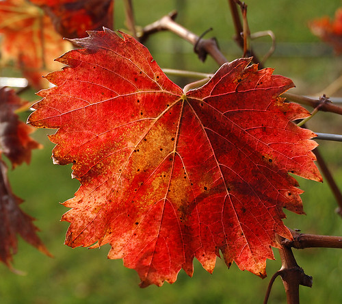Grape leaf in Autumn