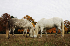 Friends II (Ggja Einars..) Tags: family friends horses horse white cute nature beautiful animals canon eos grey colorful kentucky equine nttra mane icelandic icelandichorse hestur whitelegs icelandichorses 50d hesturinn ggja gigja grni einarsdottir gigjaeinarsdottir