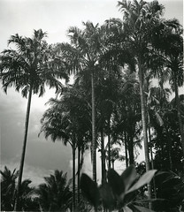 Pigafetta palms at Pajahi Bay, Halmahera