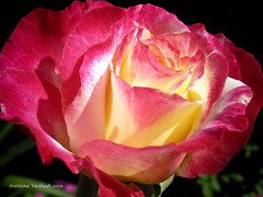 FROM MY BURNING HEART TO YOU (Marquisa -) Tags: red dedication rose yellow interestingness backyard friend texas thankyou heart houston explore burning fp frontpage homegrown svetlana zanimo marquisa explored explorefrontpage anawesomeshot explorefp svetlanavasiliadi russiantexas svetan svetanphotography exploreddec420097 svetalanavasiliadi
