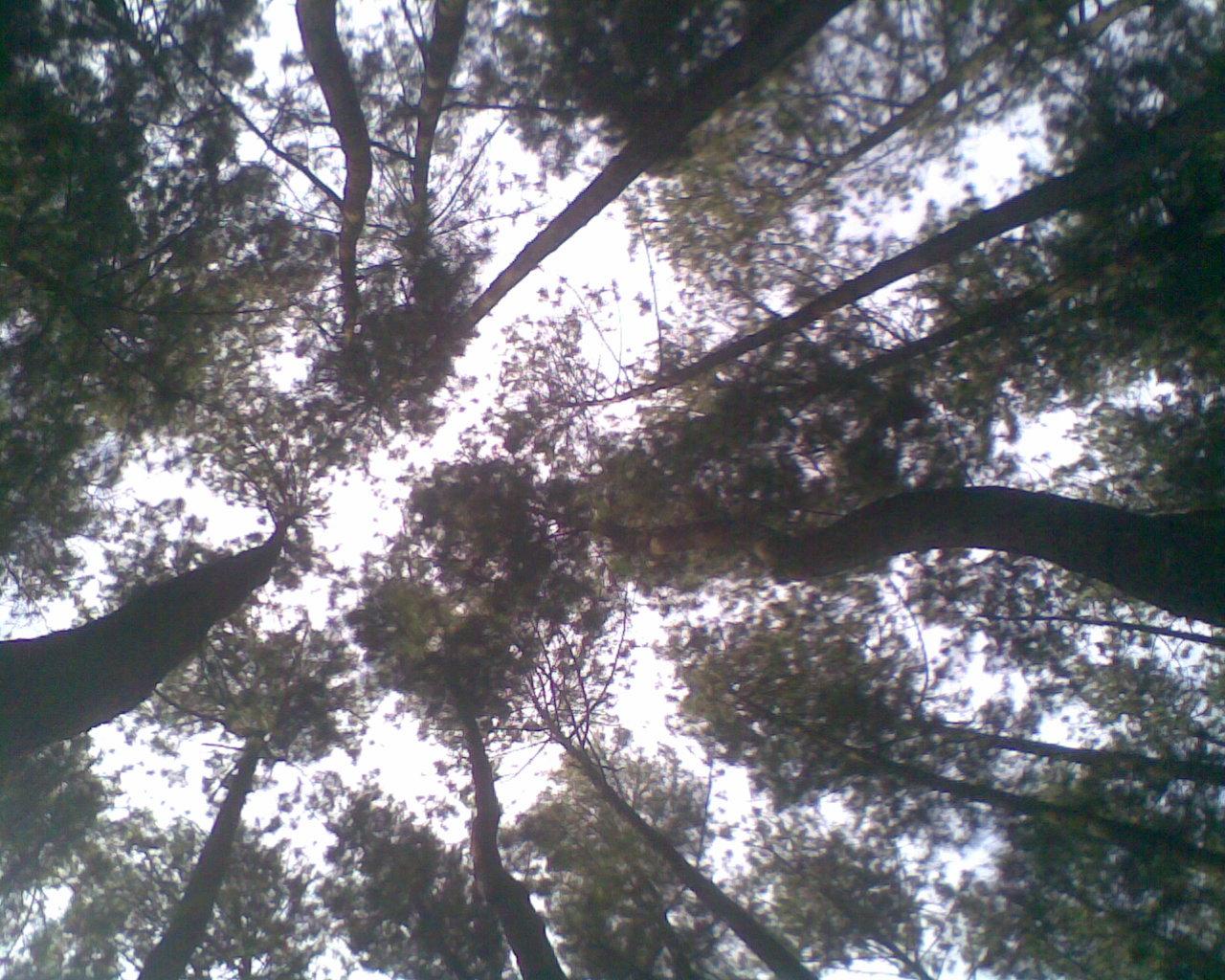 kerimbunan pohon cemara di Tahura