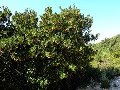 Sur la piste du ruisseau de Mela, arbousier en fleurs/fruits