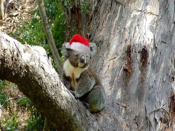Koala-in-santa-hat
