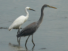 Western Reef and Little Egret (SivamDesign) Tags: bird fauna lumix little panasonic western reef egret intermediate littleegret egrettagarzetta egrettagularis westernreefegret intermediatemorph fz8 dmcfz8 indianreefheron