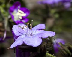 Not So Fresh (PAL1970) Tags: flower macro canon eos purple bokeh guatemala flor tobacco nicotiana tabaco morado 50d pal1970 ✿beautiflower✿