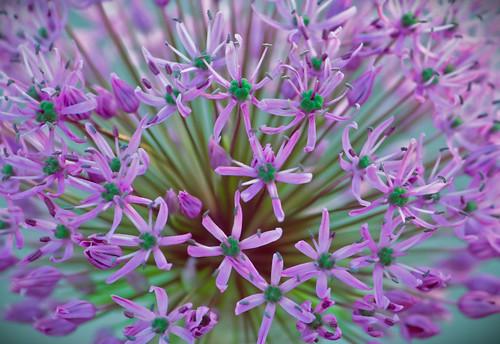 kaskad, blommor, lila