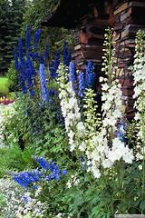 Delphinium (gerry.bates) Tags: flowers plants canada gardens canon flora alberta banff perennial delphiniumelatum gardendelphinium candlelarkspur