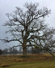 Winter Tree (Marc Sayce) Tags: winter february 2017 tree petworth park west sussex national trust south downs sdnp