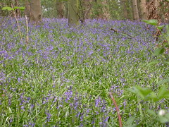 CARPET OF BLUEBELLS FISHERY WOODLAND 850 (Coventry City Council) Tags: coombecountrypark coombeabbey coventry