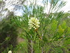 IMG_6690 (jdf_92) Tags: australia nsw flower wildflower kuringgai kuringgaichase nationalpark