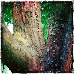 That Tree (Rantz) Tags: rantz mobilography 365 roger doesanyonereadtagsanymore victoria melbourne mobiligraphypad2016 psad2016 kodotxgrizzledfilm texture hipstamatic innernorth strawberrytree johnslens