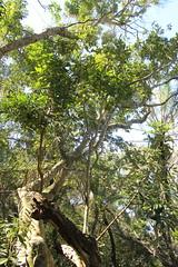 Trichilia dregeana - Bosrooiessenhout - St Lucia - Zuid-Afrika 3 (Ruud de Block) Tags: southafrica ruuddeblock meliaceae taxonomy:binominal=trichiliadregeana trichiliadregeana bosrooiessenhout stluciaestuarium