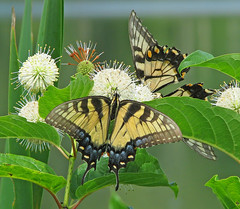 Tiger swallowtails in buttonbush (Cephalanthus occidentalis) (Vicki's Nature) Tags: easterntigerswallowtails female two stripes big butterfly yellow spots buttonbush wildflowers hickorylogreservoir georgia vickisnature canon s5 2080 round globes spikes spikey lake