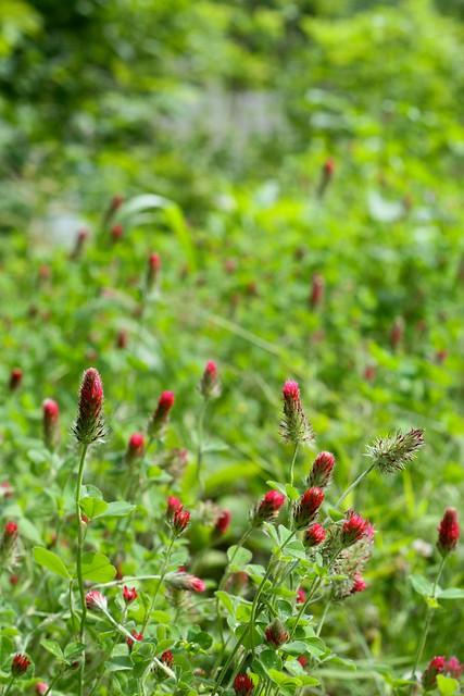 Crimson Clover Cover Crop
