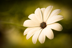 covetousness (harold.lloyd) Tags: light white soft bokeh want daisy smoky nao pls ggt canonef24105mmf4lisusm daisery orsomethingcloseit stillhothere stilltagginghere covetnotthycontactsletters