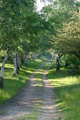 Orée de bouleaux, route des crêtes (Lozère, Cévennes)