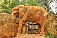 Elephant (Vinicius Portelinha) Tags: brazil elephant animal brasil zoo nikon sopaulo sampa sp coolpix bicho hdr p90 elefante zoolgicodesopaulo paquiderme zogico