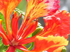Flame (Spotted drum  (on & off)) Tags: red vacation flower macro beautiful bloom flametree saipan gmt illawarra abigfave