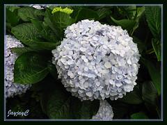 Hydrangea macrophylla (Mophead Hydrangea, Bigleaf Hydrangea, Hortensia) in light blue