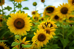 Hello Sunshine [Explored!] (Brandon Christopher Warren) Tags: blue sky plants flower field leaves yellow clouds petals long pretty bokeh northcarolina growth sunflower buds stalks hellosunshine pleasing aesthetically yellowsunflowers