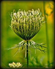 Ready to Burst (blamstur) Tags: flowers flower green brookfield visualart queenanneslace naturesfinest awesomeblossoms