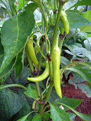 banana peppers on the vine