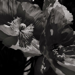 Poppies IIII (Paperbarque1) Tags: shadow bw sun poppies atwork messingabout tabletopphotography