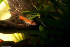 Odessa Barb (Brousseau) Tags: aquarium odessa barb freshwater