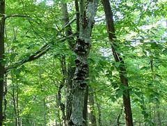 tree sassafras