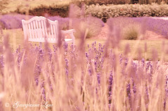 The White Bench (georgianna lane) Tags: summer flower garden bench purple lavender fragrant mauve flowering herb stalks perennial perennials scented lavandula florabellatextures