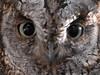 Eulen-Augen (dirklie65) Tags: wild detail bird animal eyes nikon owl augen menorca raubvogel vogel d300 eule dirklie65
