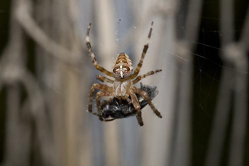 Spinnenfütterung